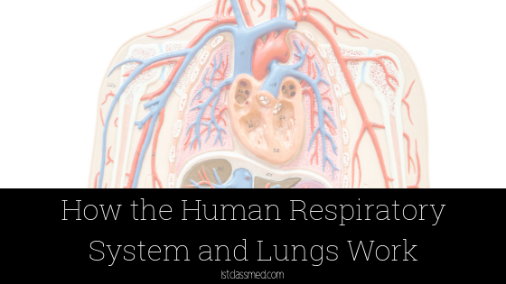How the Human Respiratory System and Lungs Work