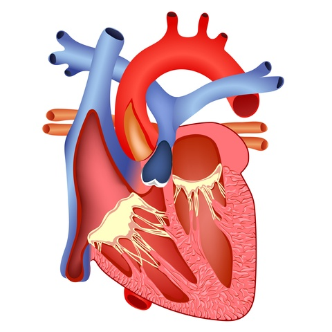 image of a heart