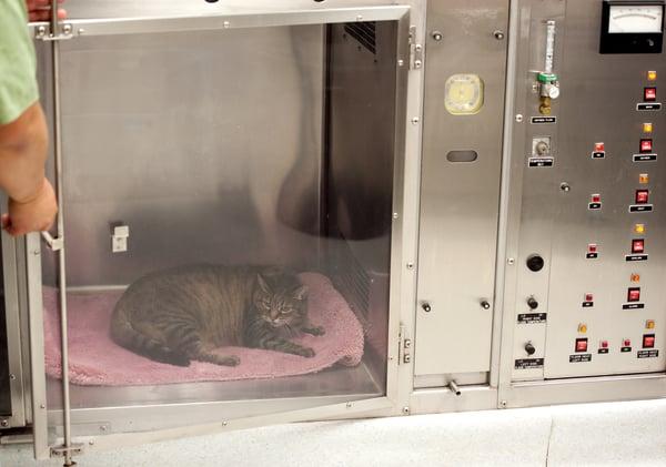 cat in oxygen tent