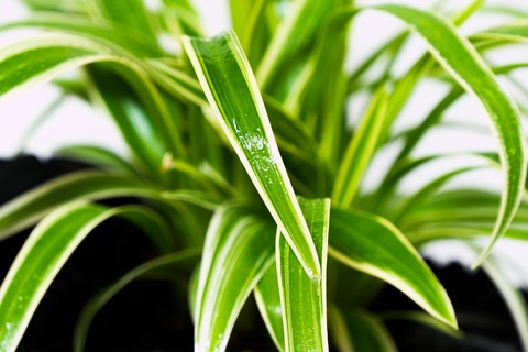 spider plants can help clean the air which can benefit copd patients